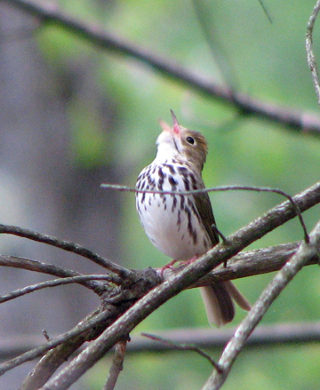 Ovenbird singing Warwick May