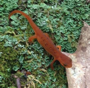 salamander-better