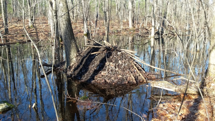 Beavers build a lodge out of branches, mud and leaves they've gathered from in and around the pond.  They excavate a chamber inside the lodge and will live in it throughout the year. This photo of a lodge  near Summer Stat Wildlife Sanctuary was taken by Wilson Acuna.