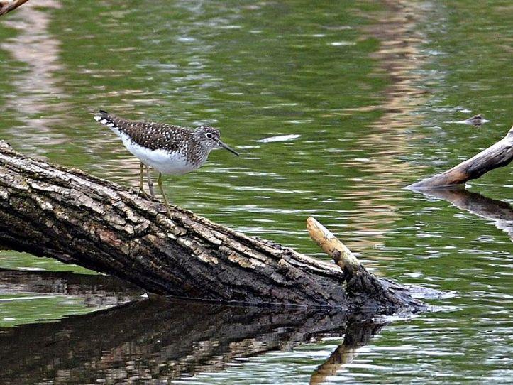 spottedsandpiper